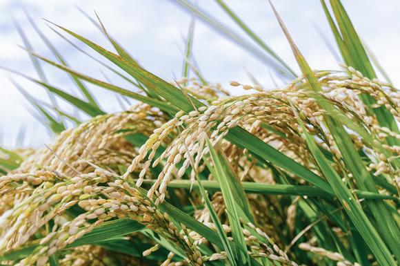 ご飯の糖質は高め!白米・玄米・雑穀米・五穀米・赤飯